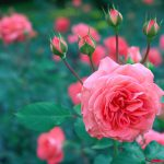 Розовая роза в саду фото