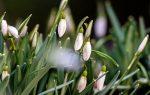Цветы подснежники на поляне в лесу, крупный план макро