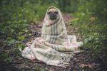 Фото милой собачки мопса укутанного в одеяле