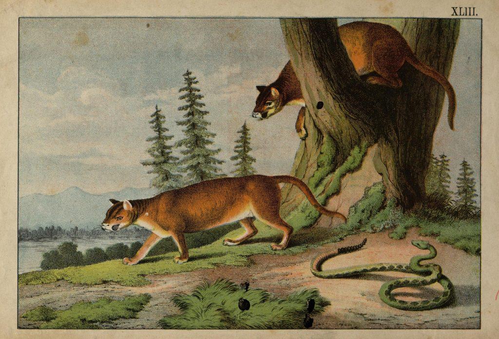 Животные гравюра, Две пумы и гремучая змея
