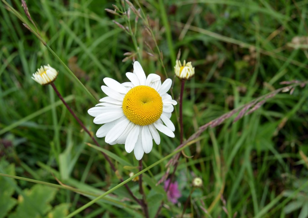 Цветок ромашка в поле на лугу среди травы