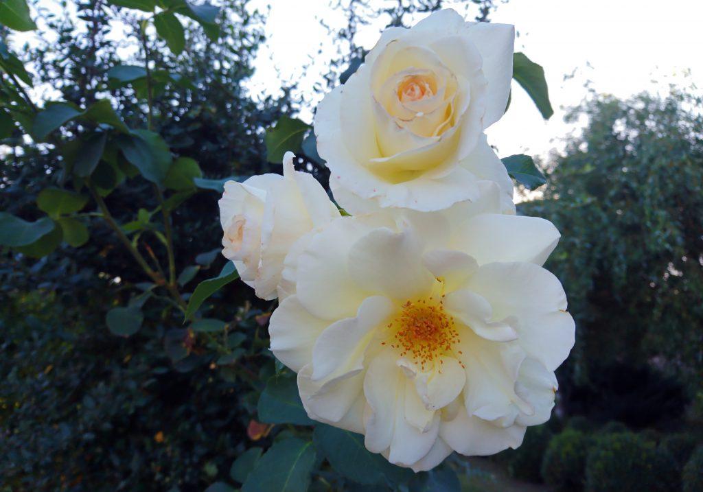 Фото белой розы в саду