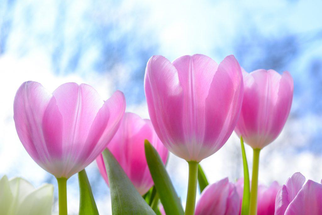 Красивое фото розового тюльпана