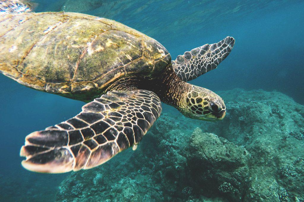 Фото морской черепахи на Гавайях