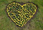 Цветы клумба в виде сердечка, сердце из цветов