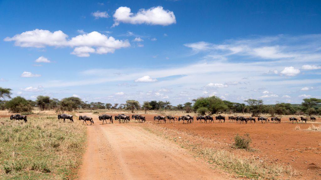 Стадо антилоп гну переходят дорогу