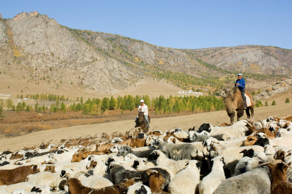 Стадо овец в Монголии