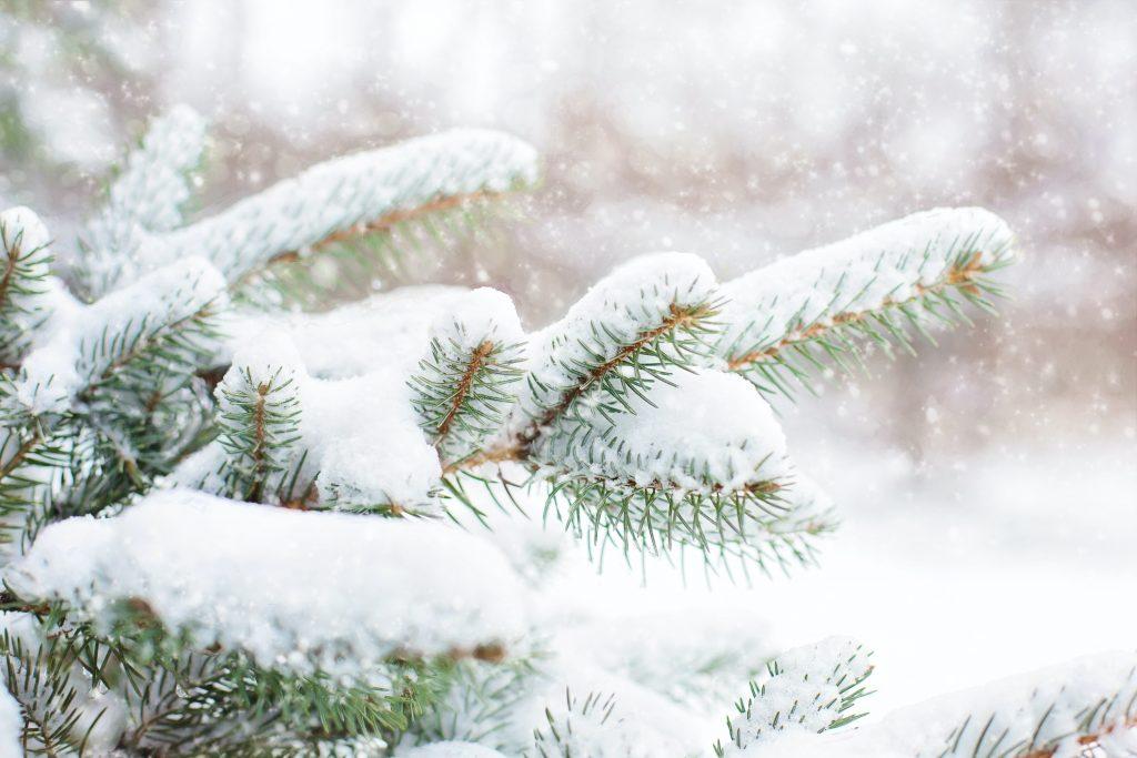Ель в снегу, в лесу идет снегопад
