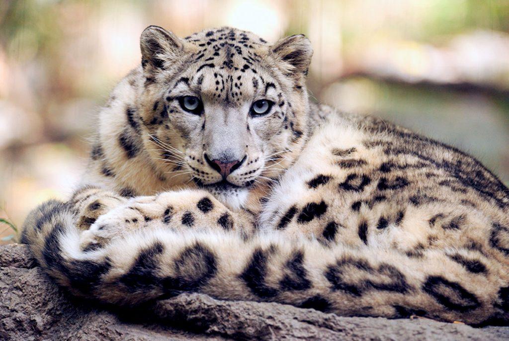 Фото снежного леопарда