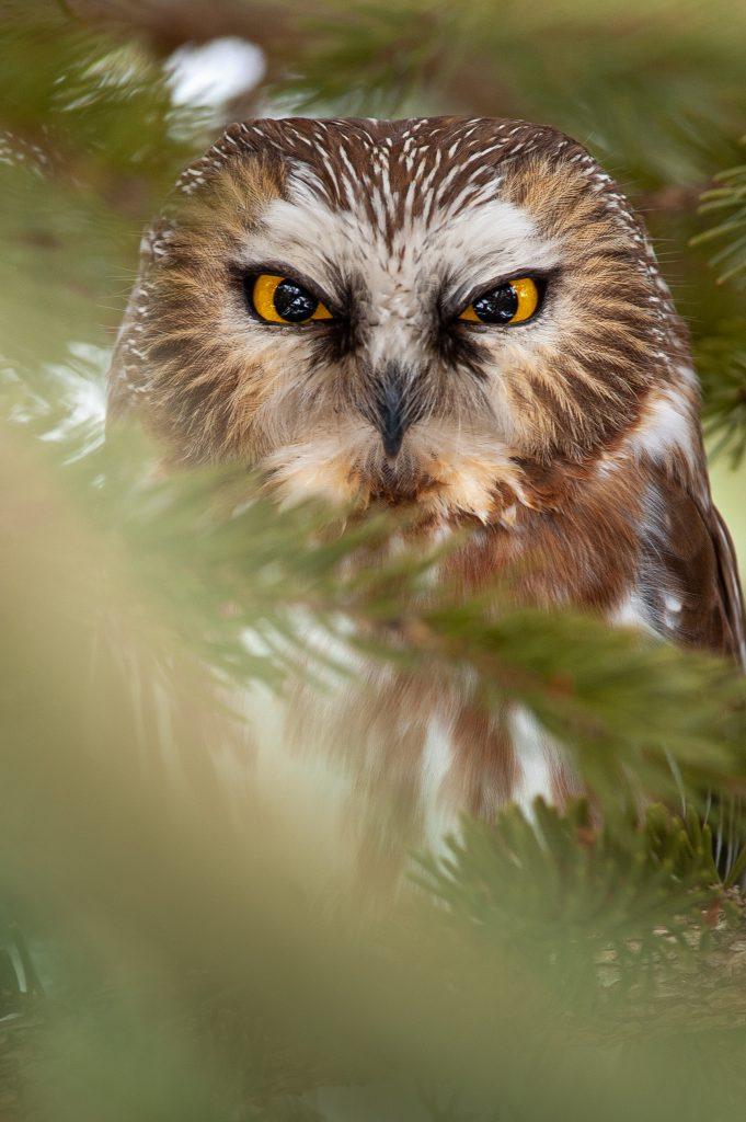 Птица сова крупный план совиных глаз.