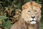 Дикий лев, заповедник Масаи, Танзания