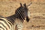 Дикая зебра в Африке, Танзания