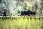 Буйвол и крестьянин, рисовые поля, Таиланд
