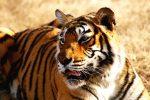 Стоковое фото бенгальского тигра