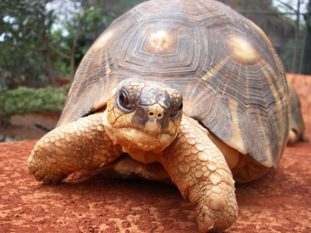 Фото черепахи на Мадагаскаре