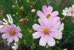 Полевые розовые цветы на даче в саду