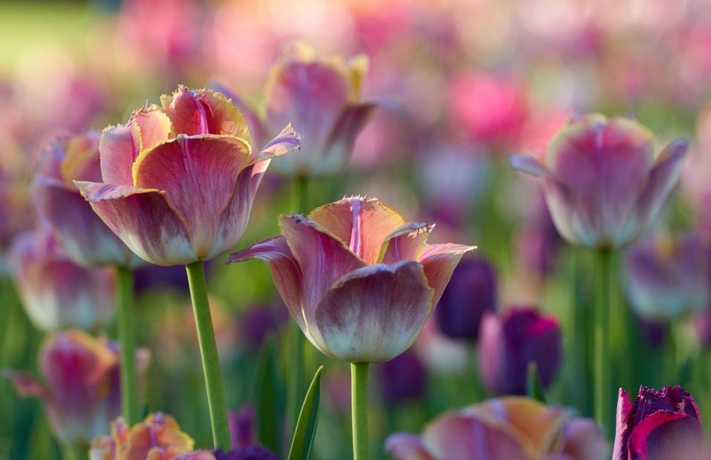 Красивые цветы тюльпаны фото обои