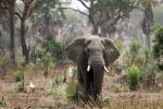 Слоны в Уганде, Африка