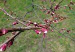 Цветущее дерево вишня, почки на ветке вишни, весна