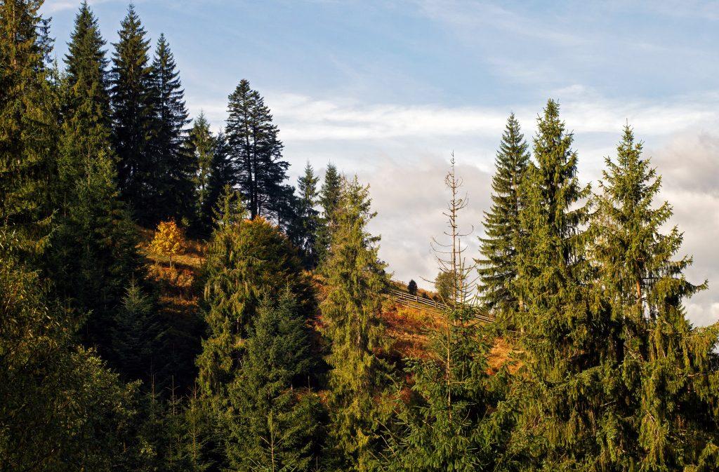 Карпатский лес в Ворохте