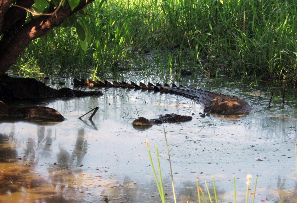 Дикий крокодил в Австралии, заповедник Walu Wugirriga