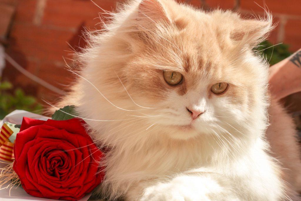 Домашний белый кот с цветком розы