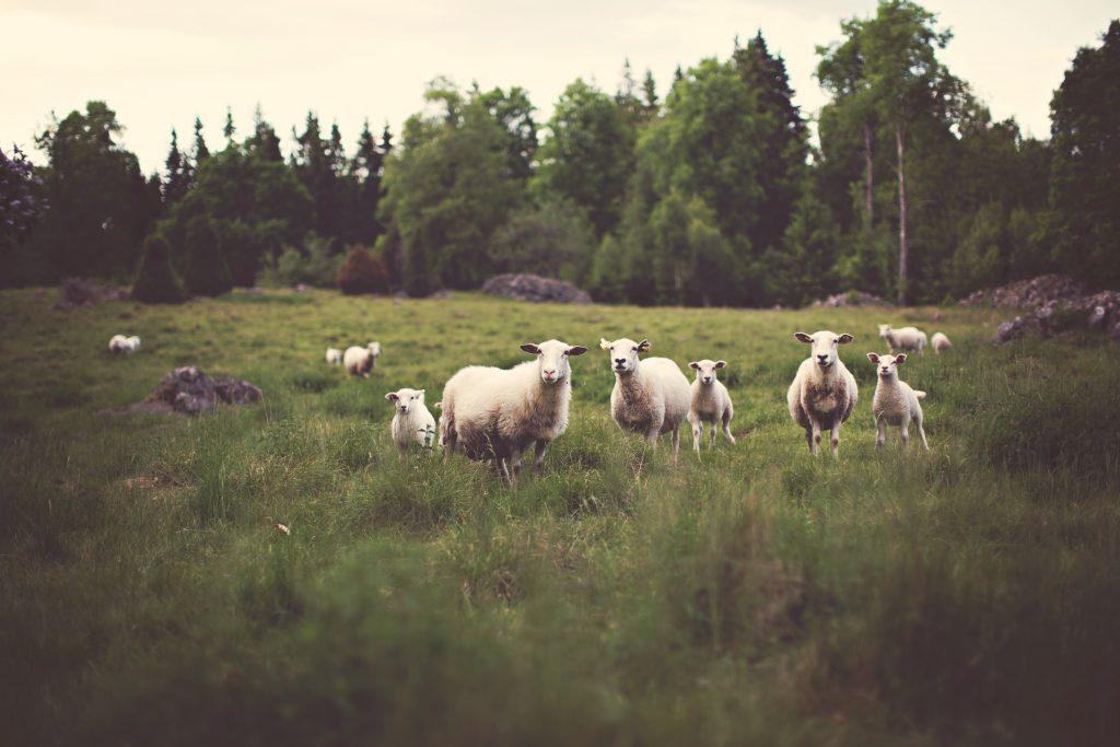 Белые овцы на ферме фото