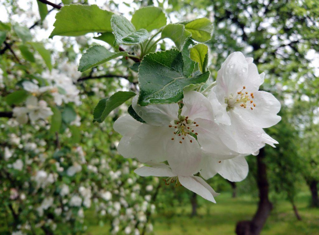 Цветы яблони, цветущее дерево яблоня весной