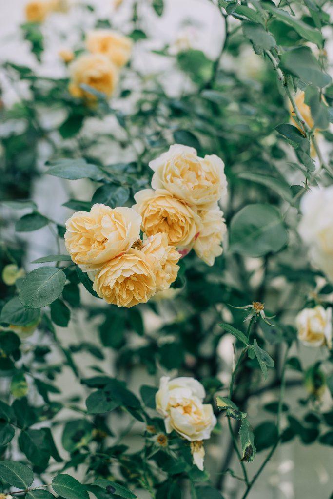 фото бутонов желтых роз