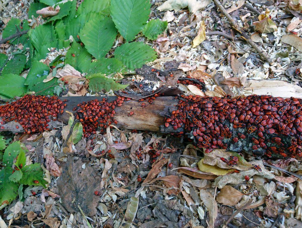 Жук клоп солдатик, жуки на дереве на земле